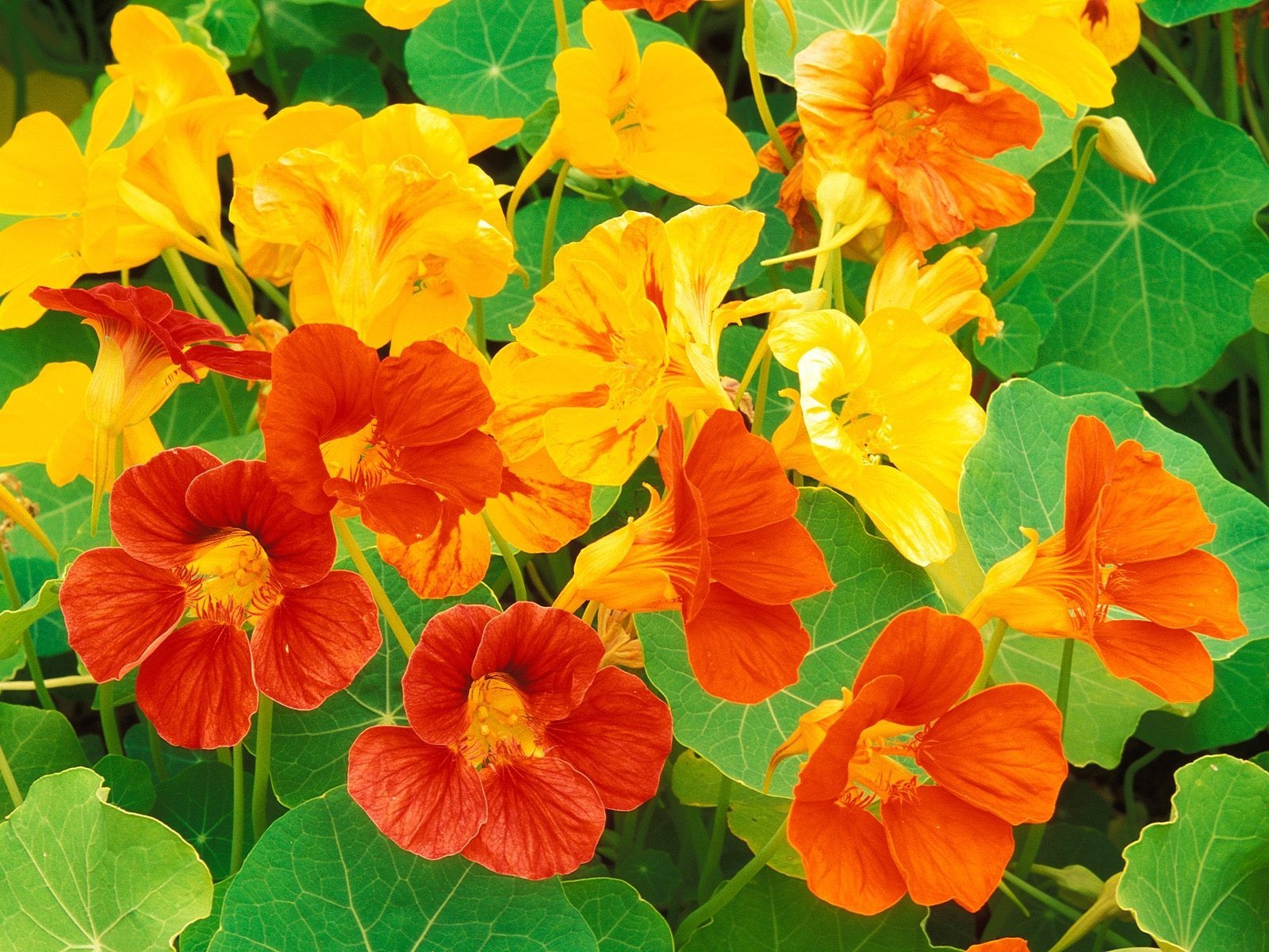 3 Simple and Delicious Nasturtium Recipes